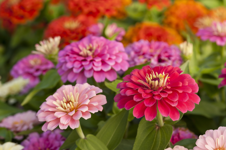 Colorful zinnias in the garden.