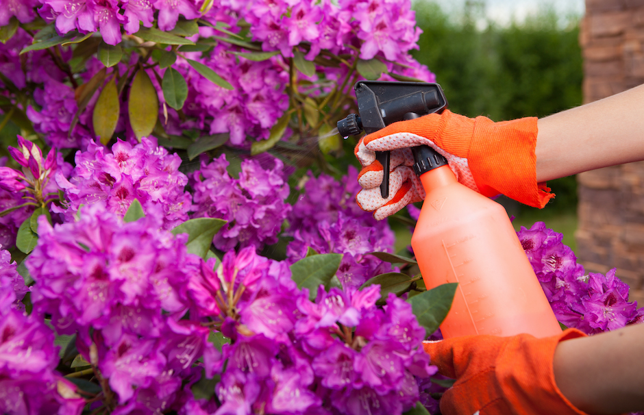 Protecting azalea plant from fungal disease or aphid