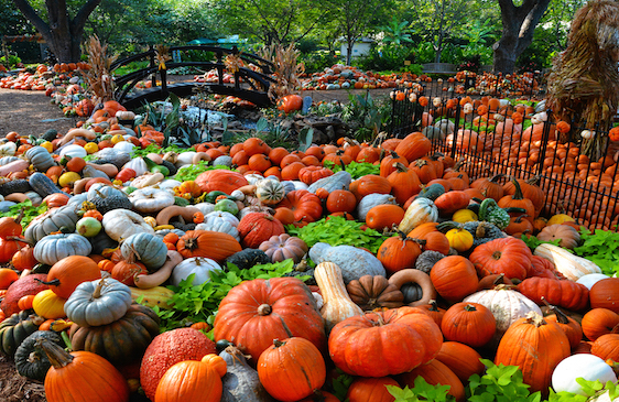dallas pumpkin patches