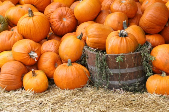 Overflow of pumpkins for Halloween