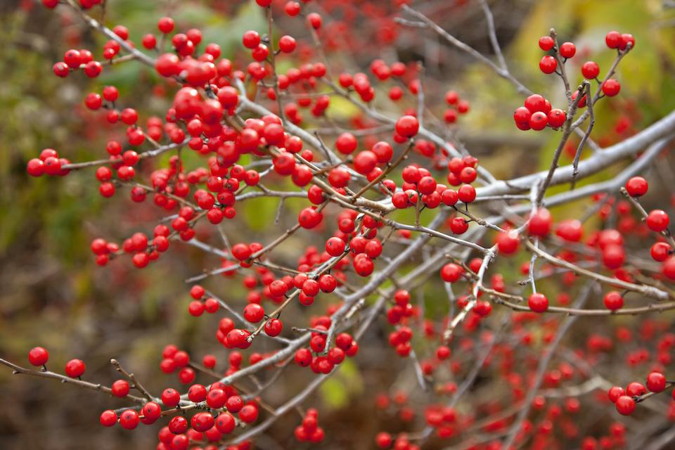 Christmas holly bush