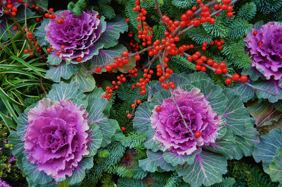 Ornamental Winter Cabbage