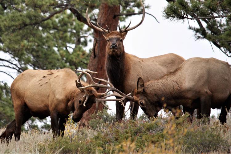 Elk Fest Estes Park 2019