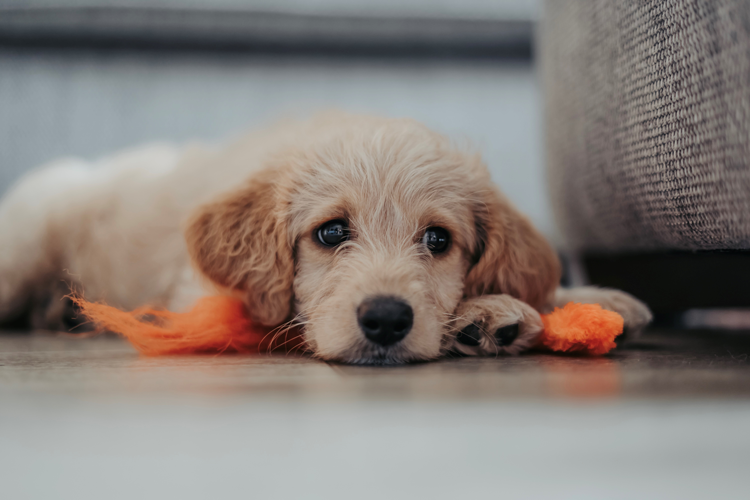 Canine Companion Consulting Online Puppy Classes