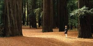 Giant Redwoods