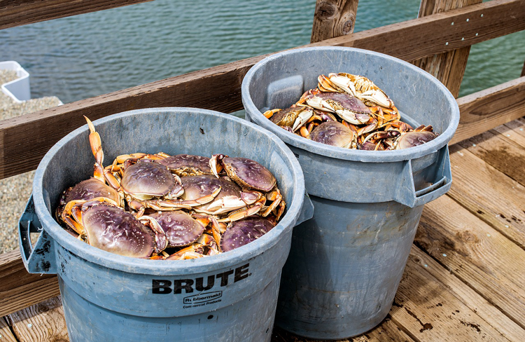 Dungeness Crab Pacific Northwest