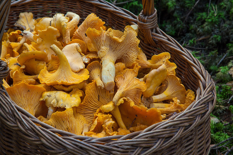 Chanterelle Mushrooms Pacific Northwest