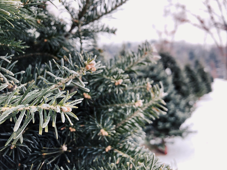 Helvetia Christmas Tree Farm Hillsboro, Oregon