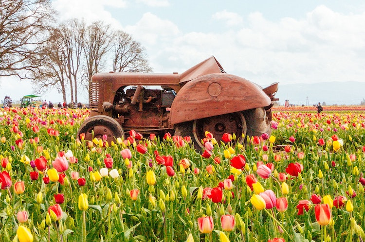 Wooden Shoe Tulip Festival Woodburn, OR