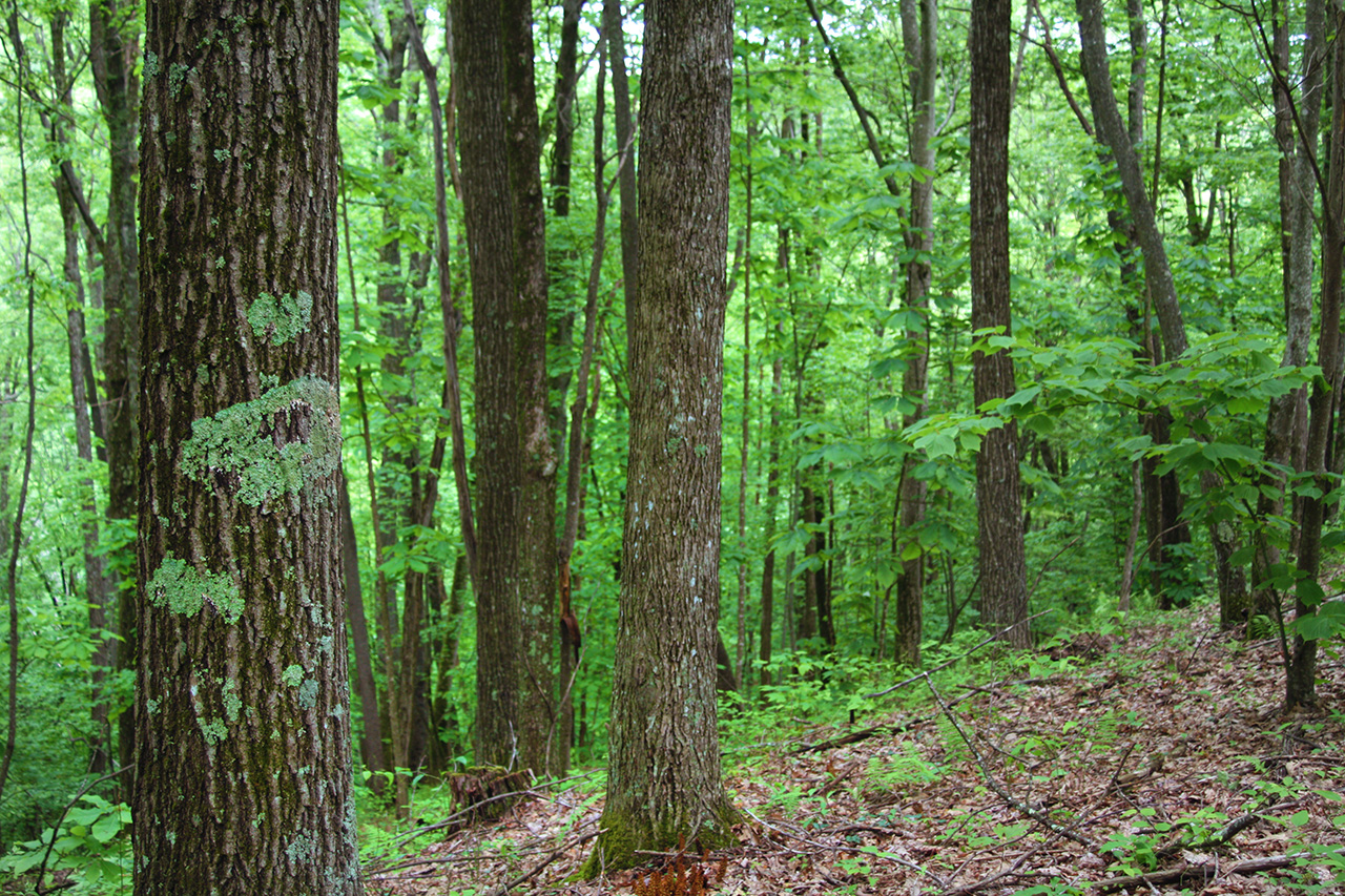 Conservation: Straight Fork Forest