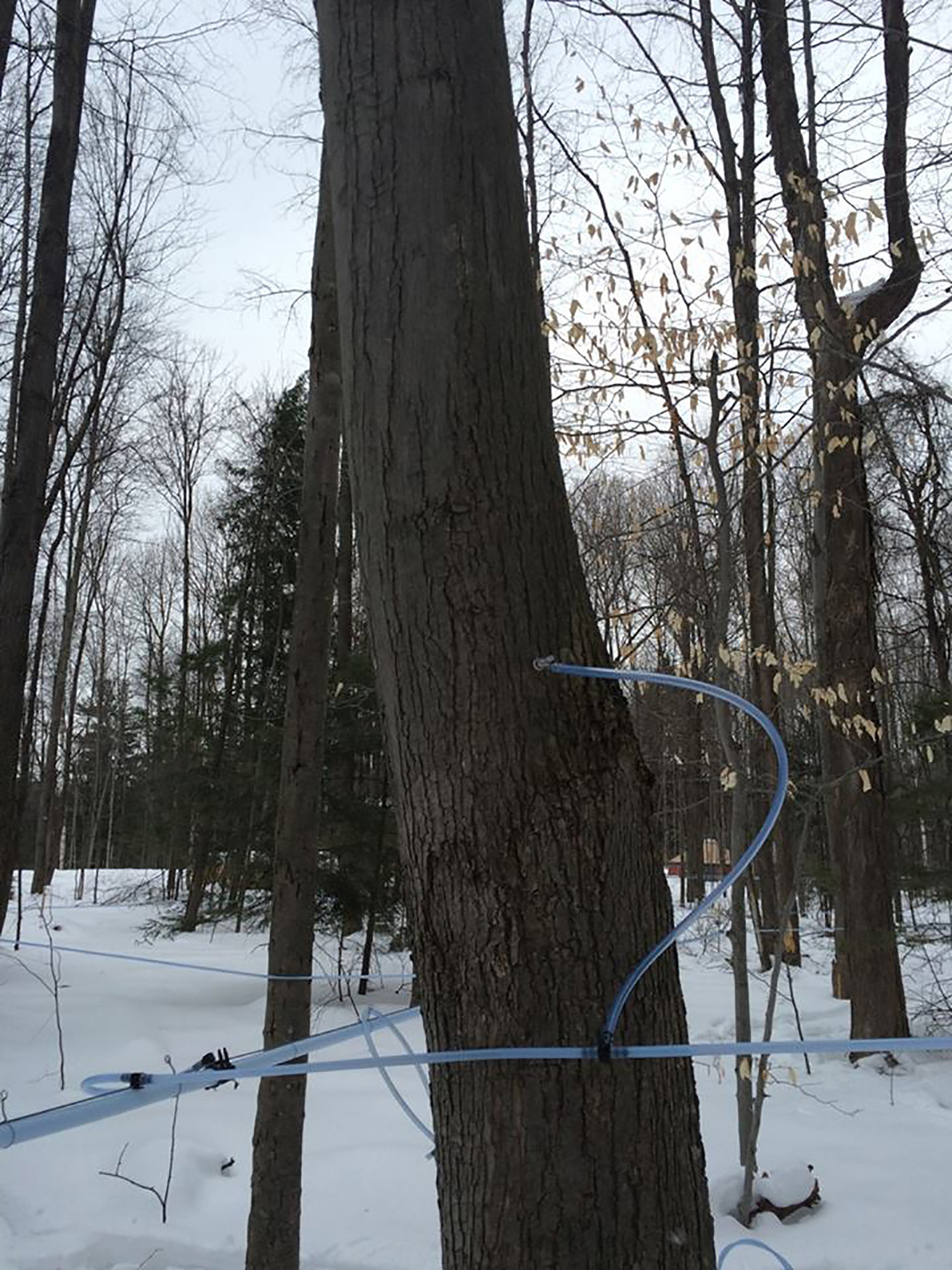 maple sugaring: tap