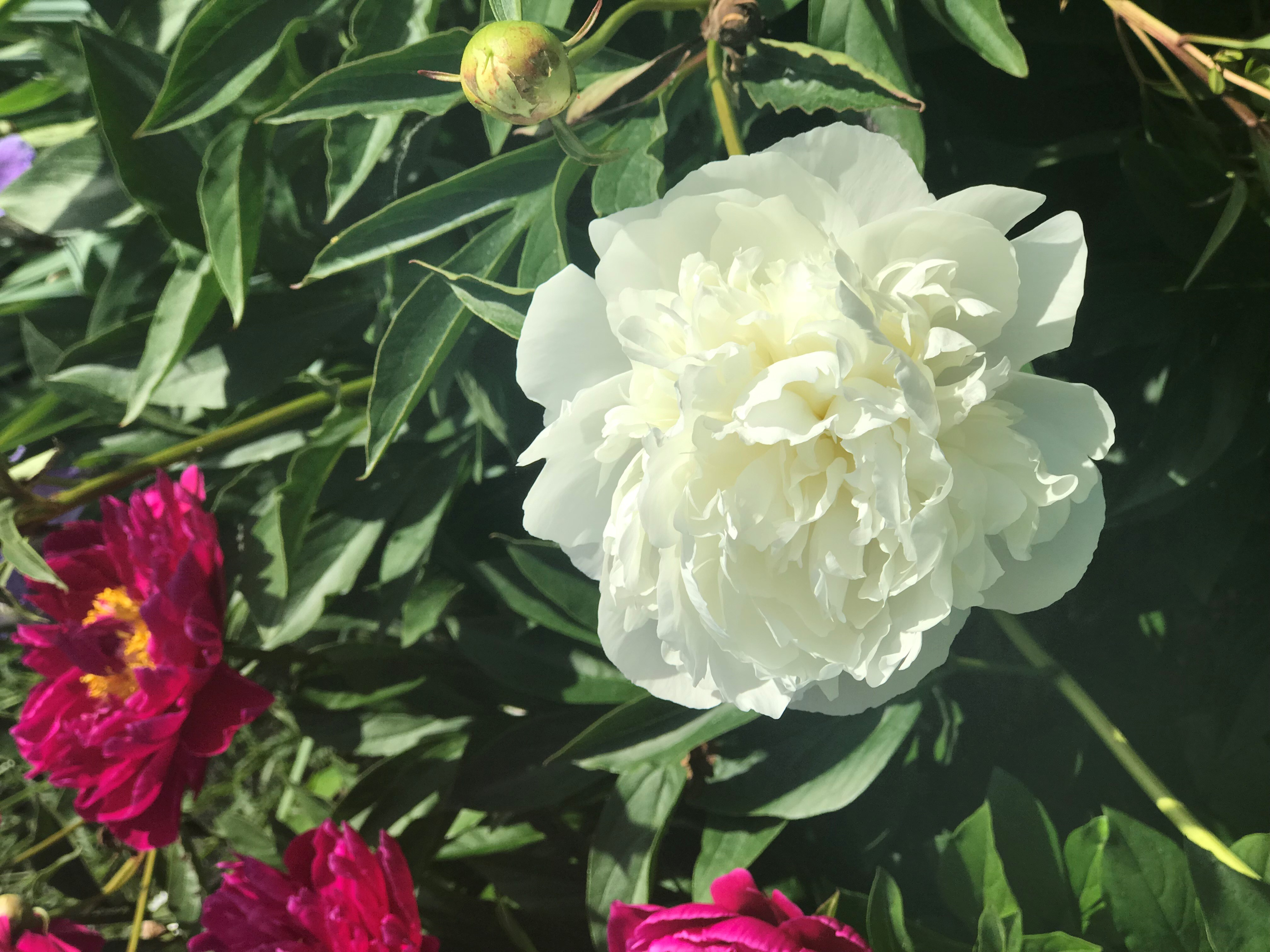 New England Flower Wars. Duchesse de Nemours