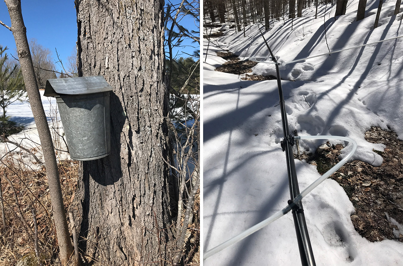 sap collection for making maple syrup