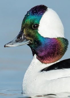 Bufflehead_CD