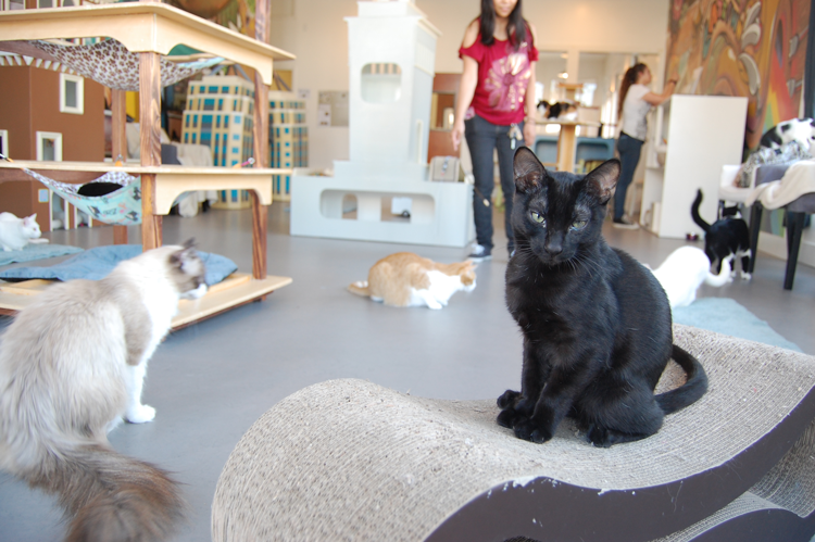 Cat Town Oakland California Cat cafe
