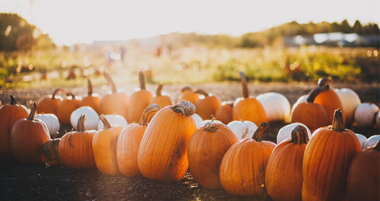 San Francisco Bay Area Pumpkin Patches