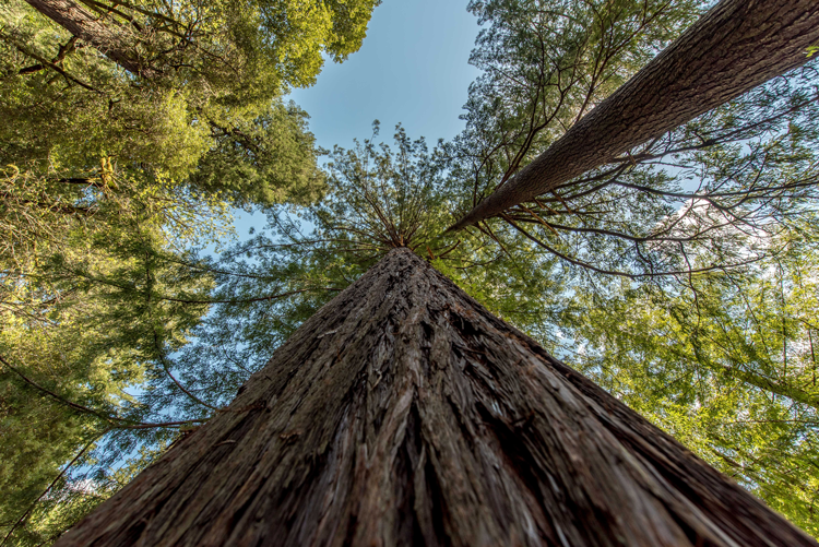San Francisco Bay Area Guinness World Records Tallest Tree in the world
