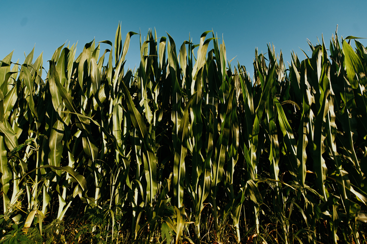 Coleman's Corn Maze